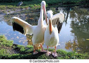 pelikán, párosít