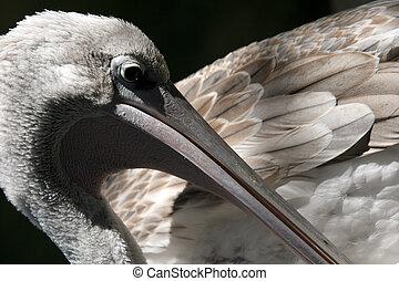pelikan, closeup