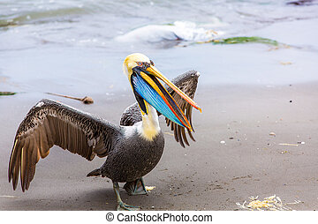 pelikan, na, ballestas, wyspy, ameryka południowa, w,...