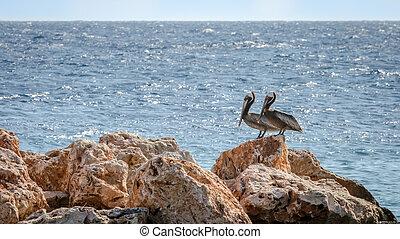 pelikan, para, karaibski, skała