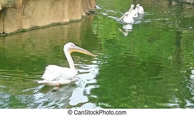 pelikan, schwimmender, in, grün, teich