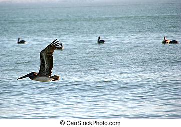 pelikan, tijdens de vlucht, namiddag, oceaan, sanibel, florida