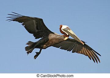 pelikan, tijdens de vlucht