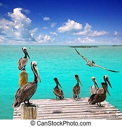 pelikan, turquoise, karibisk, tropisk, hav, strand