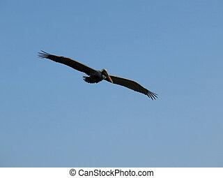 pelikan, w locie, ding, ulubieniec, wildlife schronienie, sanibel, floryda
