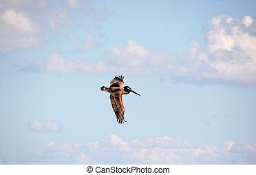 pelikan, w locie, popołudnie, niebo, sanibel, floryda
