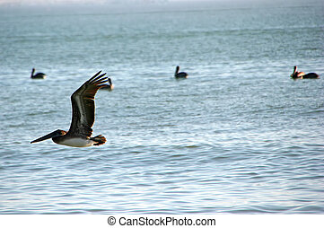 pelikan, w locie, popołudnie, ocean, sanibel, floryda