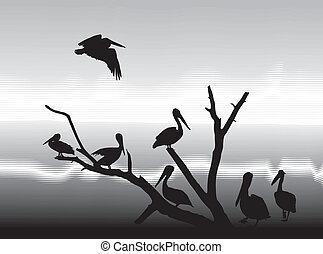 pelikans, costa, lago
