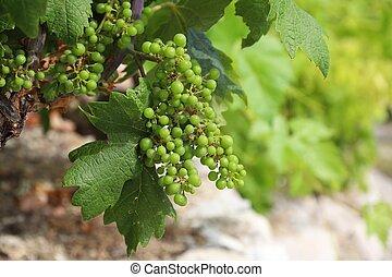 Peljesac peninsula vineyard
