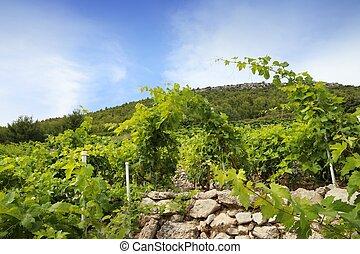 Peljesac vineyard