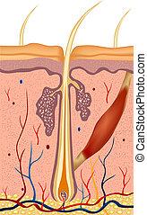 pelo humano, estructura, anatomía, illustration., vector
