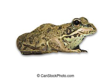 pelophylax, waterfrog, perezi, o, ibérico