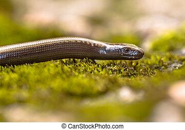 Peloponnese slowworm (Anguis cephalonnica) endemic lizard to...