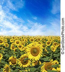 peloton k květovat, o, slunečnice