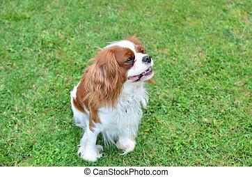 pelouse, chien, charmer