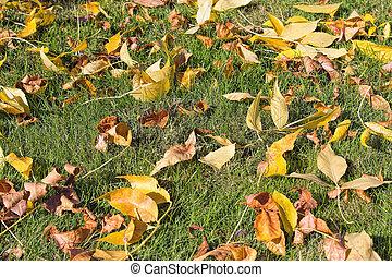 pelouse, feuilles, arbre, jaune, automne, hêtre, herbe
