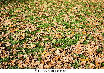 pelouse, feuilles vertes, érable