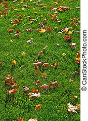 pelouse, feuilles vertes, jaune, érable