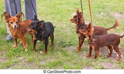 pelouse, jouet, long-wool, terriers, vert, promenades,...