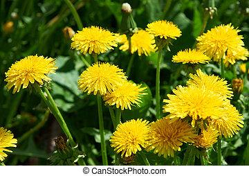 pelouse, pissenlits, fleurir