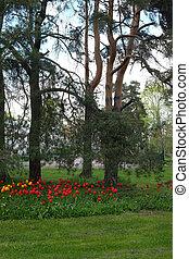 pelouse, tulipes, secteur, résidentiel, lit, arbres, pin