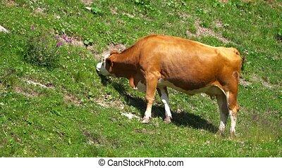 pelouse, vache, mange, herbe, vert