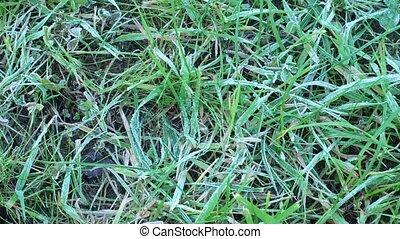 pelouse verte, gelée, herbe