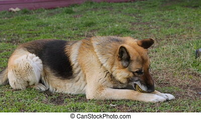 pelouse, yard, sheepdog