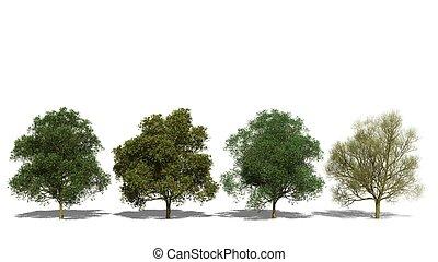 Peltophorum pterocarpum (Four Seasons) - 3D computer...