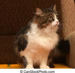pelucheux, brun, blanc, cat.
