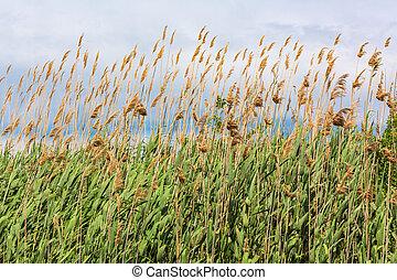 pelucheux, herbe