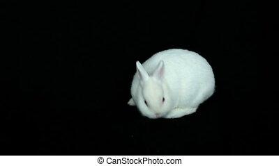 pelucheux, renifler, lapin, blanc, autour de