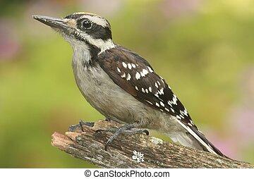 peludo,  villosus), pájaro carpintero,  (picoides