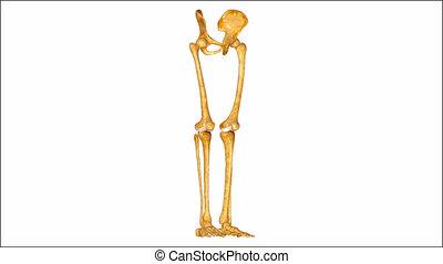 Pelvic hip with legs