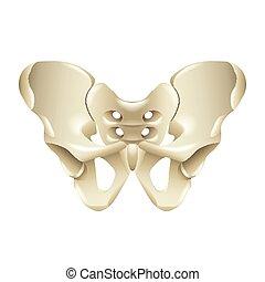 Pelvis bone isolated on white vector illustration
