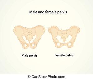 pelvis, macho, hembra