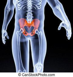 pelvis - male pelvis under the X-rays. pelvis is highlighted...