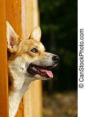 pembroke, herding, cardigan, gallois, distinct, type, pembr, deux, chien, originated, /?k?r?i/), corgi, (pronounced, petit, wales., recognized:, corgi, espèces