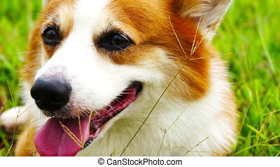 Pembroke Welsh Corgi close up resting in a field