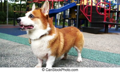 Pembroke Welsh Corgi playing fetching with a ball.