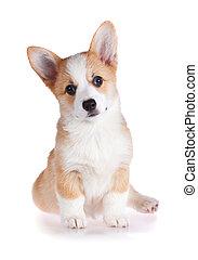 Pembroke Welsh Corgi puppy isolated on a white background
