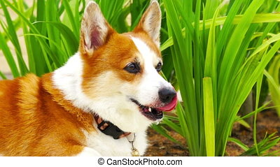Pembroke Welsh Corgi resting in a field