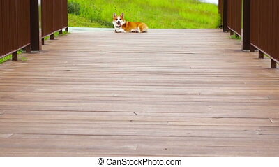 Pembroke Welsh Corgi running along a wooden bridge