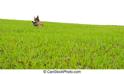 Pembroke Welsh Corgi running down a green glass field