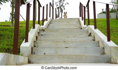 Pembroke Welsh Corgi running down a stairs