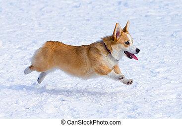 Pembroke Welsh Corgi - Dog breed Welsh Corgi Pembroke runs...