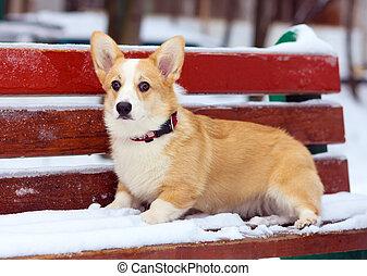 Pembroke Welsh Corgi - Dog breed Pembroke Welsh Corgi in...
