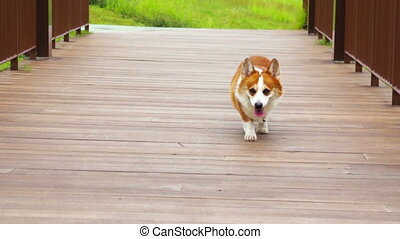 Pembroke Welsh Corgi walking along a wooden bridge