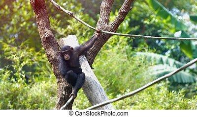 pend, vigne, zoo., unique, vidéo, chimpanzé