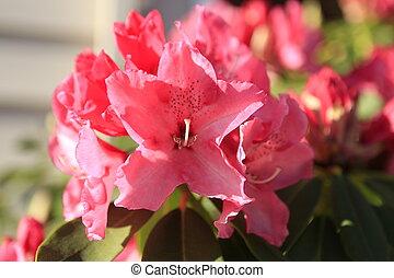 pendant, été, rhododendron, jardin japonais